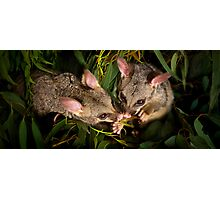 """Jasper & Tinka"" Brushtail Possums Photographic Print"