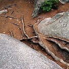 Roots by Lynda Lehmann