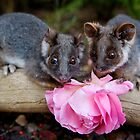 """Malu & Kitten"" Ringtail Possums by Amber  Williams"