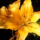 Sunshine on Yellow Lilies Photo by Brenda Scott