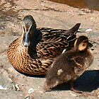 Momma and Baby Duck Photo by Brenda Scott