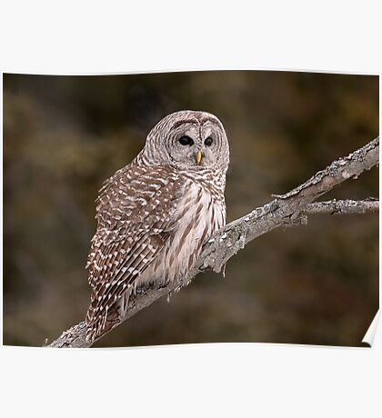 Barred Diagonally / Barred Owl Poster