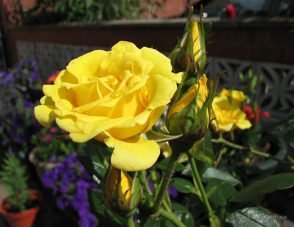 Golden Jewels - Rose and Buds at Sunrise by BlueMoonRose