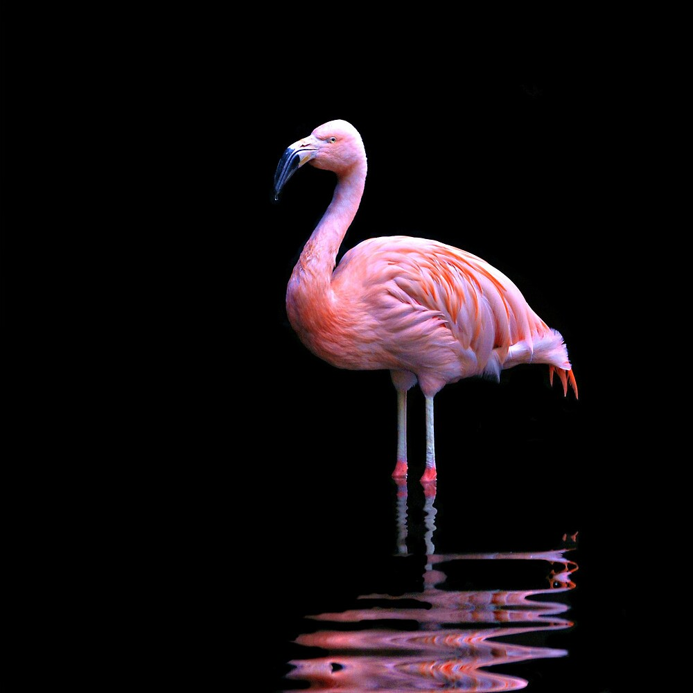 Chilean Flamingo ~ on black by roger smith