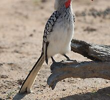 Yellow-billed Hornbill-Perched by Melissa  Whitby