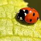 Ladybird on a leaf by Fortune8