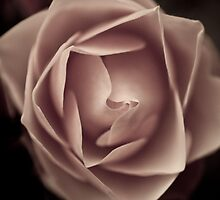 Antique Rose by sandroo