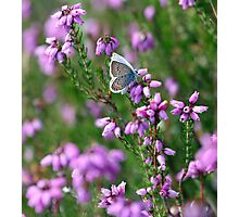 Silver Studded Blue Butterfly Photographic Print