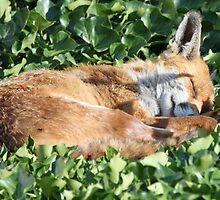 Fox by rhallam