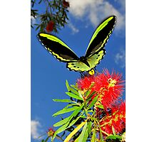 butterfly on bottle brush flower Photographic Print