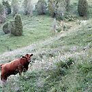 25.7.2015: Cow on Hilly Pasture II by Petri Volanen