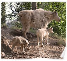 """""""If it itches...""""  Mountain goat with kids, Montana photo. Poster"""