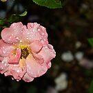 Rain on a rose by Carolyn Clark