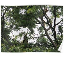 Tree Climbing Kangaroo Poster
