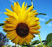 Now, That's What I Call a Sunflower by joAnn lense