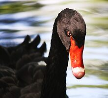 Black Swan Day Dreaming by Paulette1021