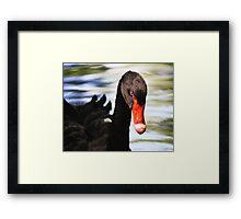Black Swan Day Dreaming Framed Print