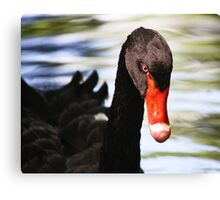 Black Swan Day Dreaming Canvas Print