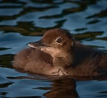 Fluffy baby Loon by Laura Cooper