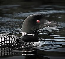 Loon in Algonquin Park by Laura Sanders