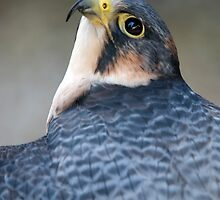 Fastest Living Thing On The Planet....The Peregrine Falcon - (Falco peregrinus) by Robert Taylor