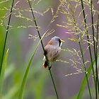 Bearded Tit  (Panurus biarmicus) by chris2766