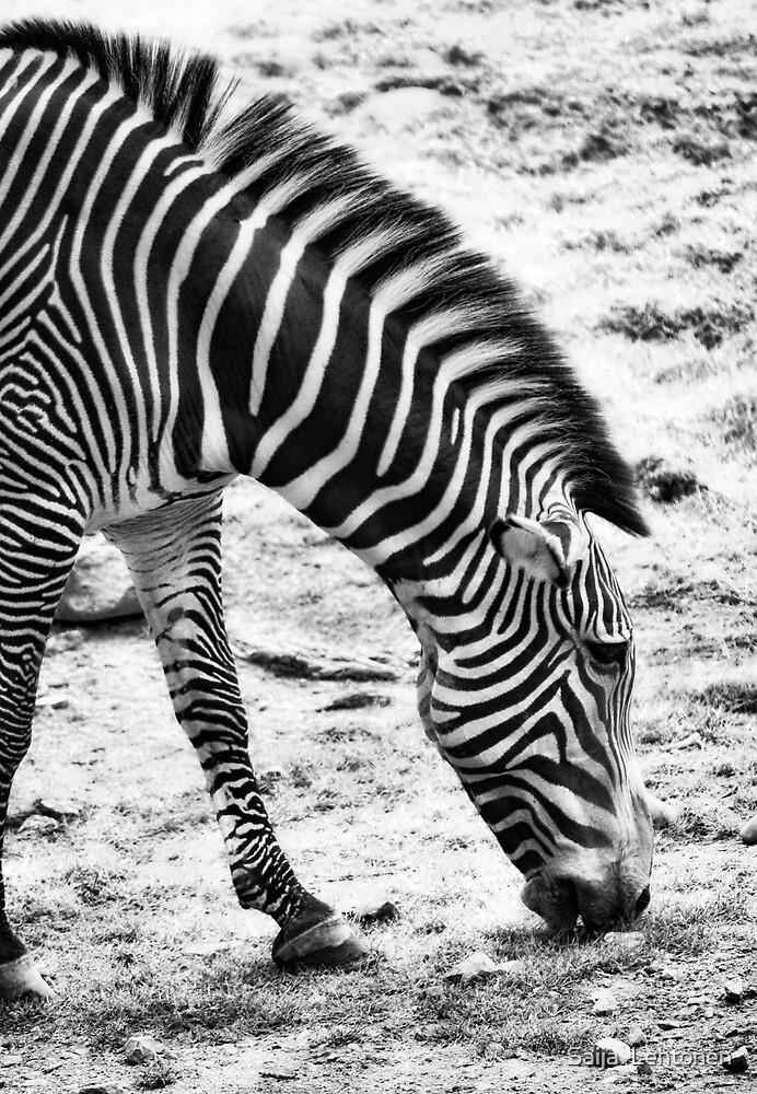 Zebra in B&W by Saija  Lehtonen