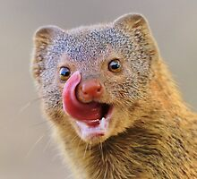 Slender Mongoose - Taste for Life by LivingWild