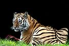 Tiger treat by Debbie Ashe