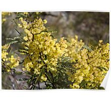 Blue Mountains Wattle Poster