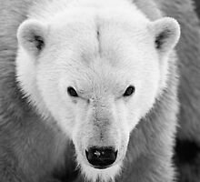 Into The Eyes of a Polar Bear by GoWildScotland