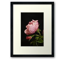 The Rose ~ And It's Bud ~ Framed Print