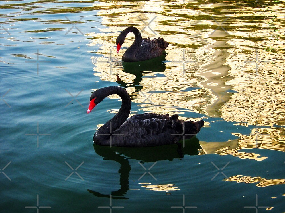 Black swan couple by Maria  Gonzalez
