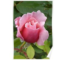 Simply a Rose Poster