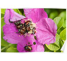 And a bug tussle, a rose Poster