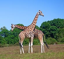 Two Giraffes by Buckwhite
