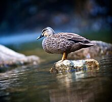 Pacific Black Duck - Morialta Conservation Park by Timothy Stevens