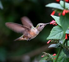 Humming bird by NYLikProduction
