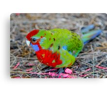 young rosella. the prom - victoria Canvas Print