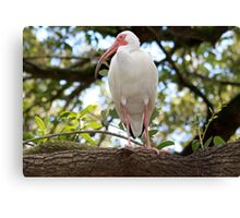 White Ibis - Hanging out! Canvas Print