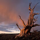Lone Bristlecone by Chris Whitney