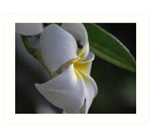Plumeria in natural light Art Print