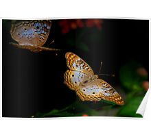 Fly Buy - White Peacock Butterflies Poster