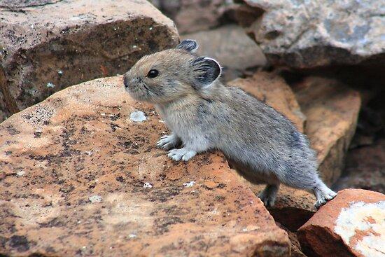 Rock rabbit by zumi