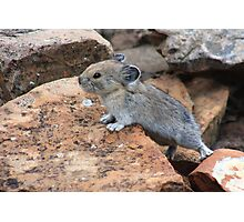 Rock rabbit Photographic Print