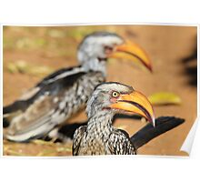 Yellow-billed Horn-bill - Beaks of Color and Life Poster