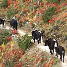 Yaks on The Everest Trail by Betsy  Seeton