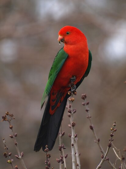 King Parrot In My Garden. by shortshooter-Al