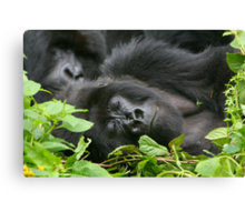 Sleeping Giant - Mountain Gorilla Canvas Print