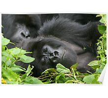 Sleeping Giant - Mountain Gorilla Poster